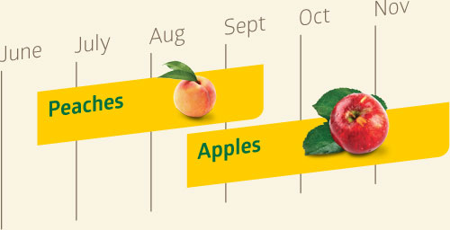 Peaches are available from mid-June to mid-September. Apples are available from mid-August through November.