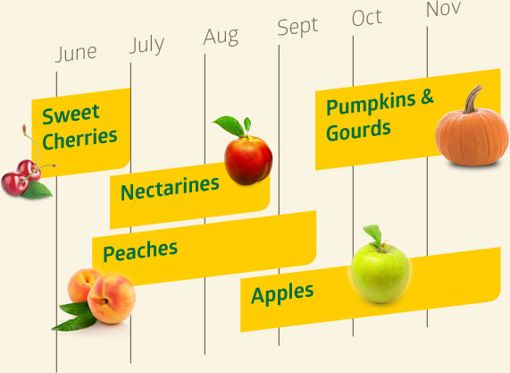 Sweet Cherries are available from mid-May through June. Nectarines are available from mid-late June to mid-late August. Peaches are available from mid-June to mid-September. Apples are available from mid-August through November. Pumpkins and gourds are available from mid-September through November.