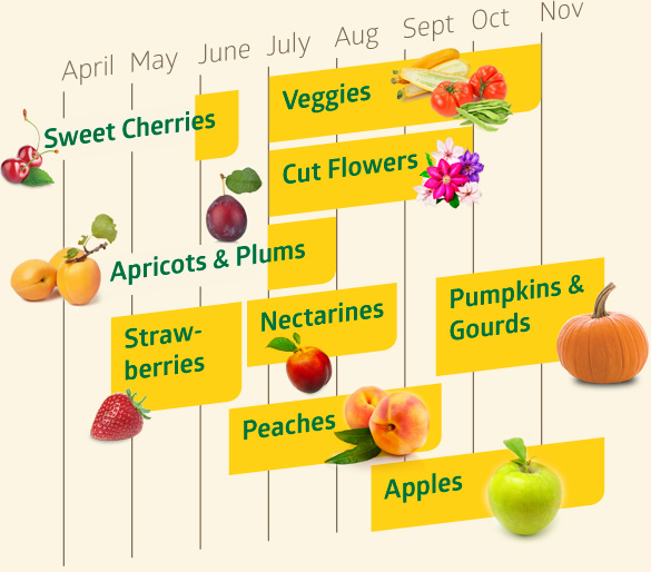 Sweet cherries are available from late May to mid-June. Apricots and plums are available in July. Strawberries are available from mid-late April to mid-June. Nectarines are available from mid-late June to mid-late August. Peaches are available from mid-June to mid-September. Pumpkins and gourds are available from mid-September through November. Apples are available from mid August through November. Veggies are available July through October. Cut Flowers are available July through September.