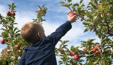 Apple picking in Charlottesville