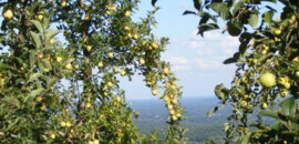 View from Carter Mountain during apple season