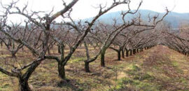 Freshly pruned peach trees at Chiles Peach Orchard
