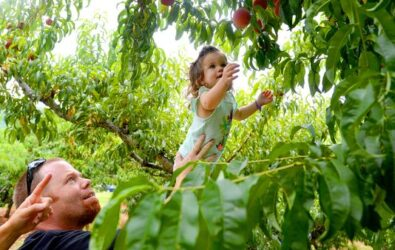 Todd McKinney of Richmond keeps a firm grip on his 2-year-old daughter Madeline as she stands on a ladder to reach for peaches on a tree at Chiles Peach Orchard in Crozet