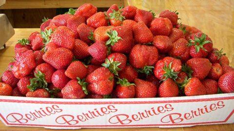Pick your own strawberries in Crozet Virginia