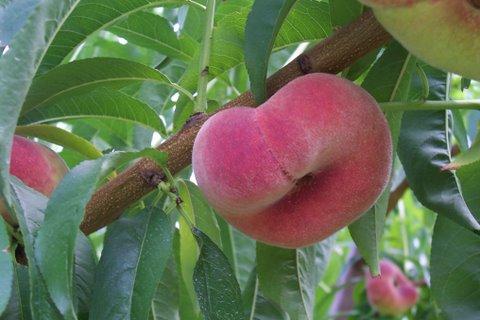 Donut peach on tree