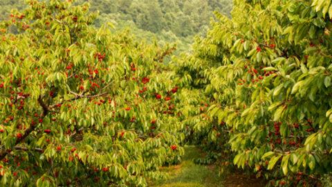 Cherry trees in Afton VA