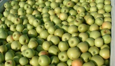Golden Delicious Apples