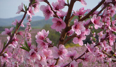 Spring peach blossoms at Carter Mountain Orchard