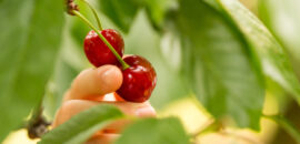 Pick your own cherries at Spring Valley Orchard
