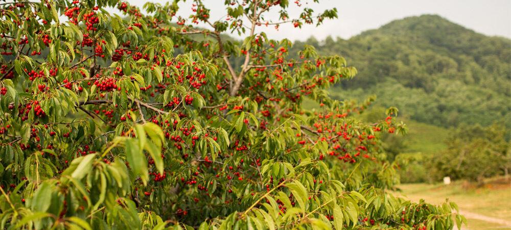 SV: Cherry Trees