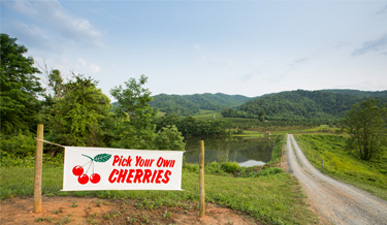 Pick Your Own Cherries at Spring Valley Orchard in Virginia