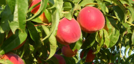 Peaches ripe on tree