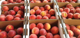 Fresh ready-picked peaches for sale in Charlottesville and Crozet
