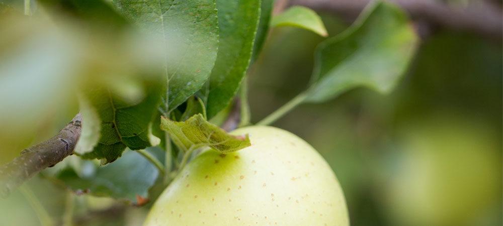CP: Apples Ripen