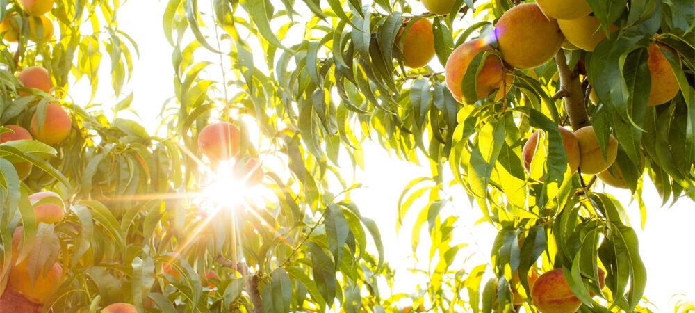 CM: Peaches Ripen