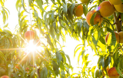 Ripe pick your own peaches at Chiles Peach Orchard