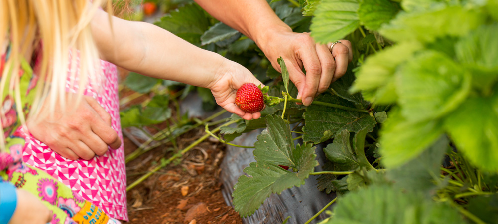 Pick your own Strawberries in Crozet