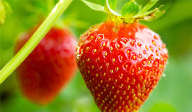 Ripe pick your own strawberry at Chiles Peach Orchard