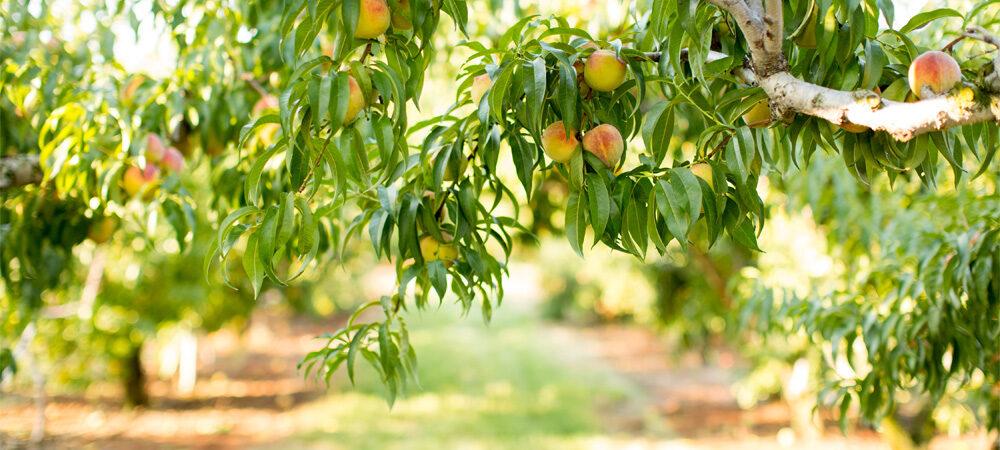 CP: Peaches Ripen