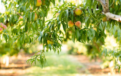 Ripe pick your own peaches at Chiles Orchards in VA,