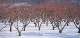 The orchard is beautiful with a covering of snow!