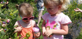Pick-your-own blueberries in Crozet at Chiles Peach Orchard