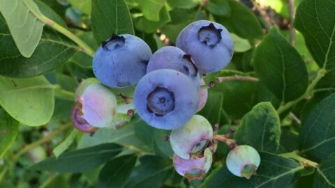 pick your own blueberries in Crozet