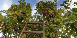 apple orchard ladder