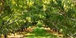 peach trees Chiles Peach Orchard