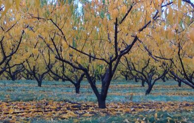 Fall leaves on the peach trees in Crozet