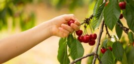 Pick your own cherries at Spring Valley Orchard in Afton, Virginia