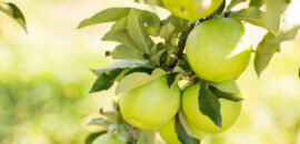 pick your own apples at Carter Mountain Orchard in Charlottesville, Virginia