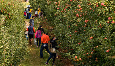 Apple pickers at Virginia orchard