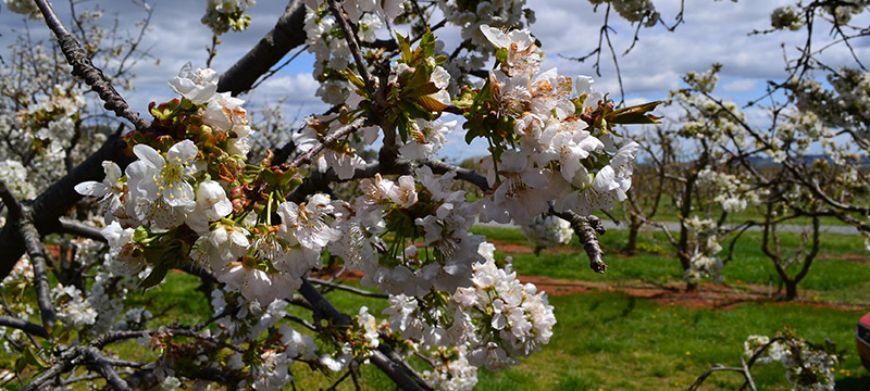 cherry blossoms at Chiles Peach Orchard