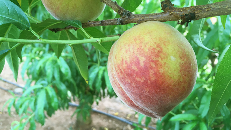 Peach ripening on tree in Crozet VA