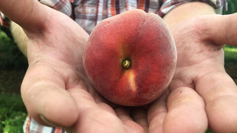 Ripe peach at Chiles Peach Orchard