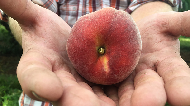 Ripe peach at Chiles Peach Orchard
