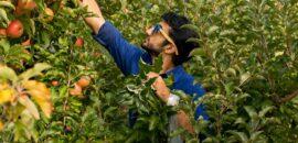 man picking apples