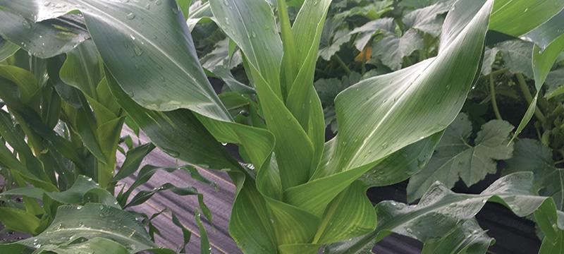 Sweet corn plant
