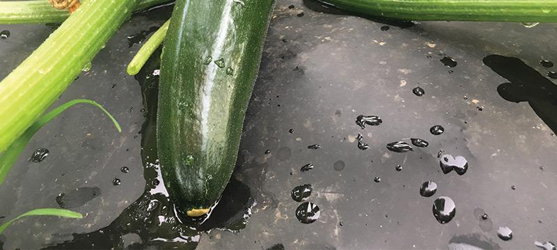Zucchini Plant