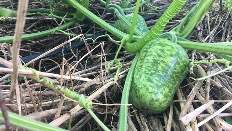 Growing apple gourd