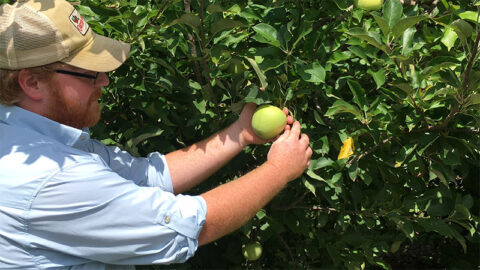 Farmer Henry picking a green apple from a tree