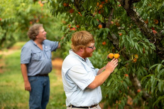Huff and Henry Chiles examining peaches in the orchard
