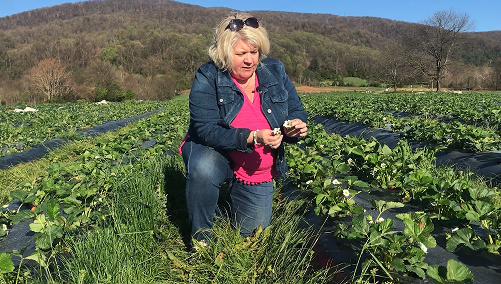 Cynthia Chiles looking at strawberry blooms and plants in field