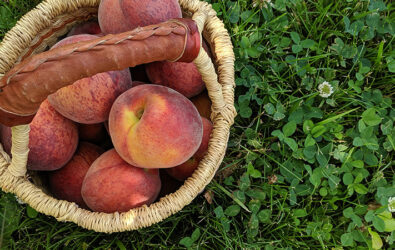 Freshly picked peaches in a basket at the orchard