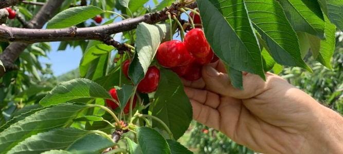 Goodbye for Now, Sweet CherriesChiles Family Orchards