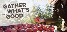 Gather what's good at Chiles Peach Orchard: fresh apples!