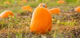 Pick your own pumpkin patch at Chiles Peach Orchard