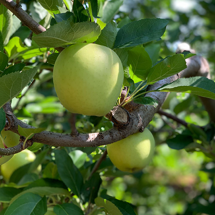 Apple on a tree at a Virginia orchard