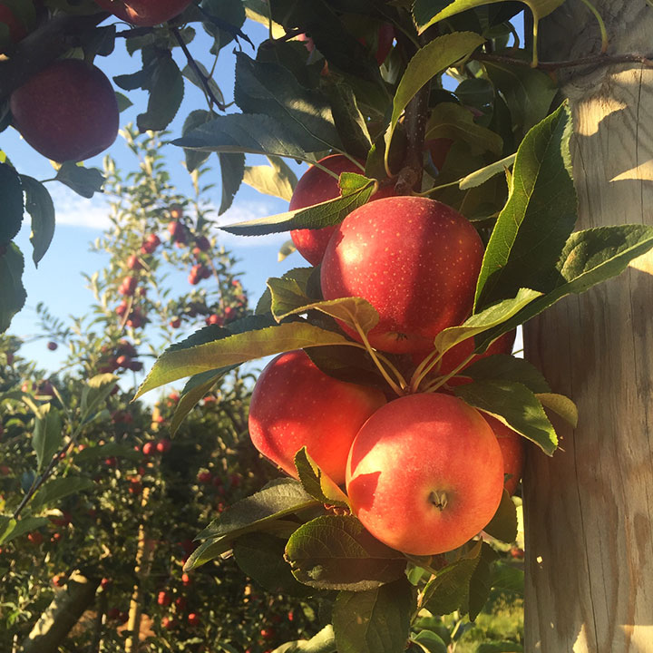Gala apples on tree at Chiles Family Orchards farm
